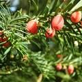 Tiszafa gyümölcse