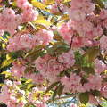 Japán cseresznyevirág