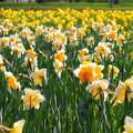 N�rciszok, tavasz