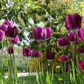 Fűvészkert, tulipán