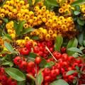 ősz, bogyó, színek, magyarország