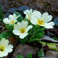 száratlan kankalin, tavasz, magyarország