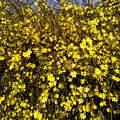 tavasz, jázmin bokor, magyarország