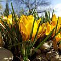 sárga krókusz, tavasz, magyarország