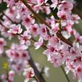 Meggyfa virága