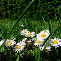 Réti pipitér, tavasz, magyarország