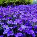 kék virágtenger, nyár, magyarország