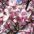 magnolia, tavasz