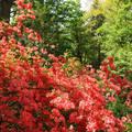 Rododendronok, Jeli arborétum