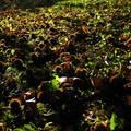 gesztenye, ősz, napsütés