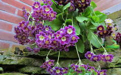 Haarlem-Holland, English Primula
