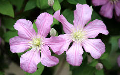 iszalag (Clematis)