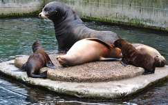 Amsterdam,  Artis Zoo, Baby Sea Lions, Father and Mother Sea Lions