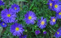 Haarlem-Holland, Asters in my garden