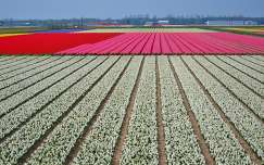 HILLEGOM-HOLLAND, FLOWERFIELDS