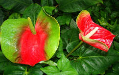 Anthurium      Flamingovirag