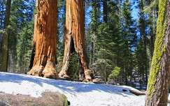 Sequoia NP, California, USA (mamutfenyők)